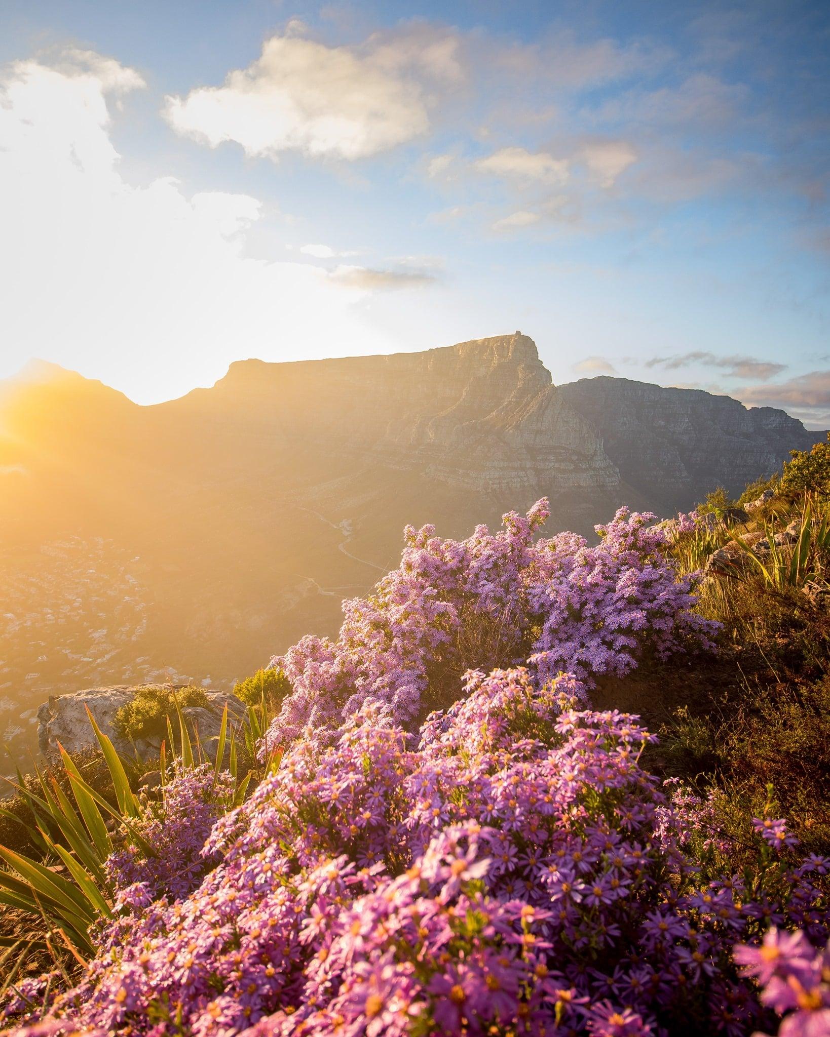 Auf dem Bild ist eine lila Gebirgspflanze zu sehen. Die Sonne scheint und im Hintergrund ist ein Berg zu sehen.