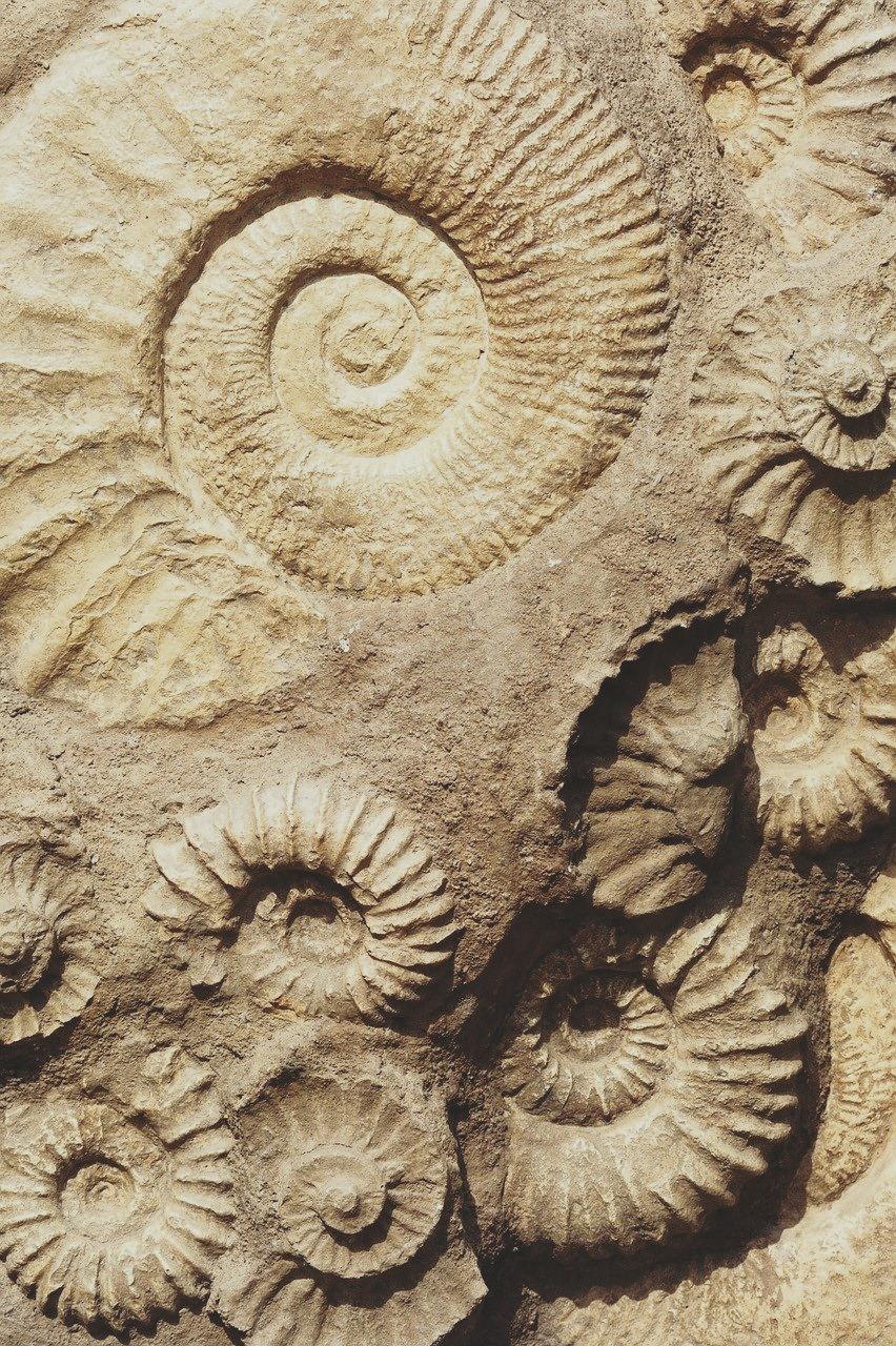 Auf dem Bild ist ein Fossil zu sehen. Sie sind beige.
