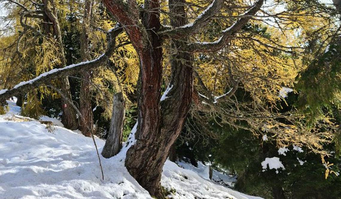 Ein Baum im Schnee. Im Hintergrund ist Wald.